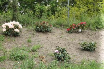 New rhododenrons planted by Friends